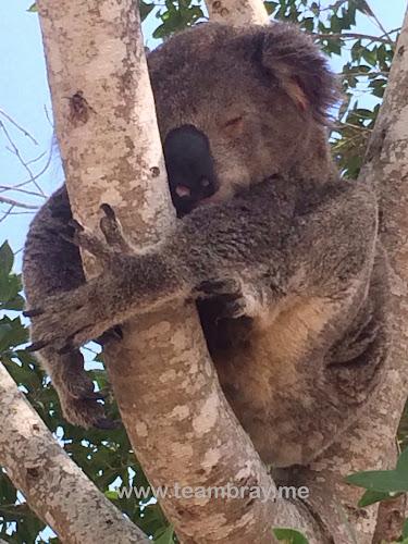 Koala Somerset Dam