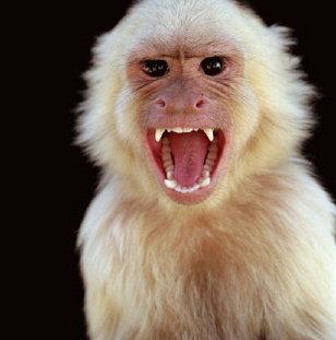 mono-salvaje