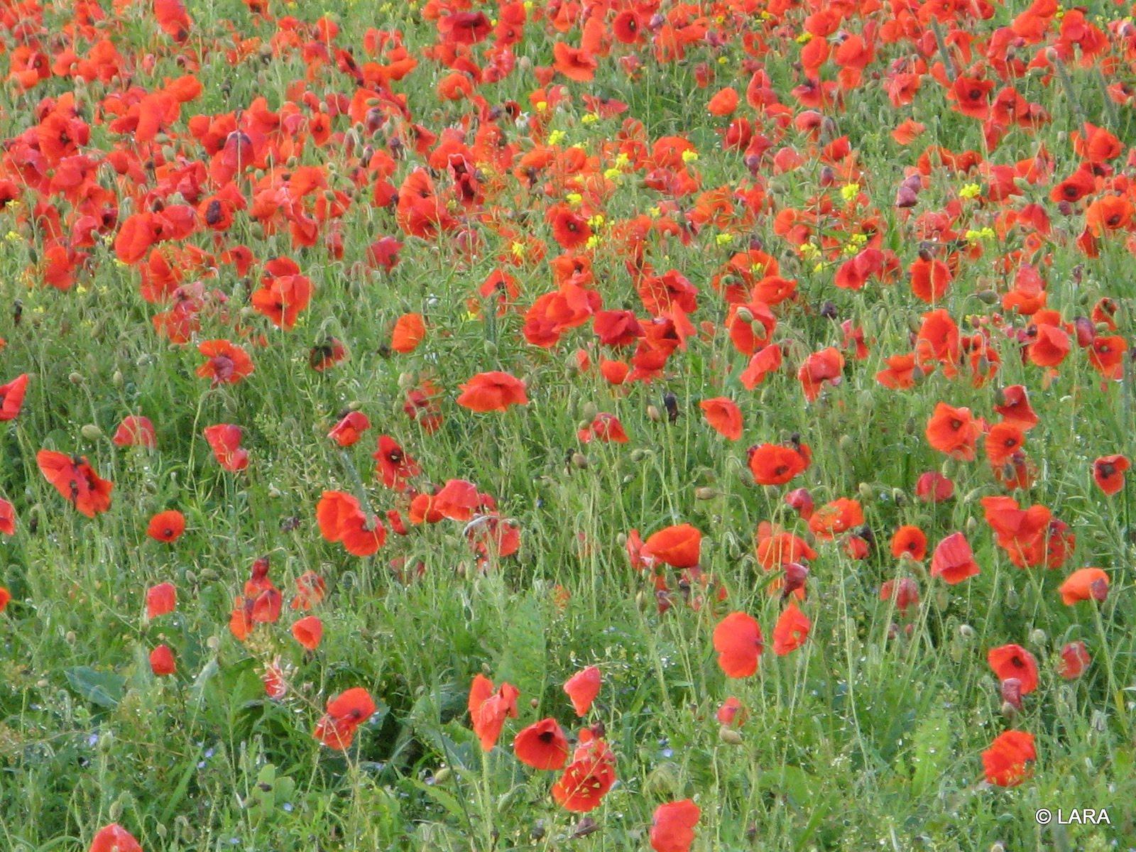 poppies=