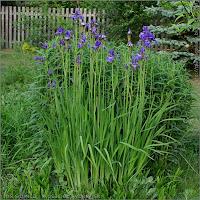 Iris sibirica - Kosaciec syberyjski pokrój