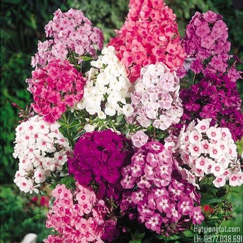 Bán hạt giống hoa thanh trúc