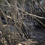 Mangroves at Duffy's (5451)