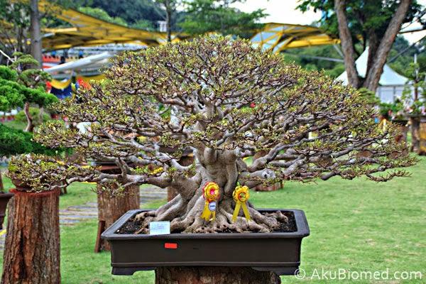 pokok bonsai juniper