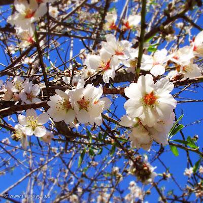 almendos en flor