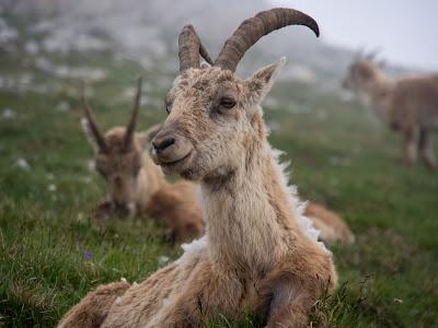 Ens creuem amb un grup de cabres salvatges