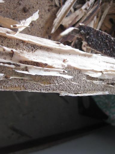Destruição de mobiliário por colónia de C. brevis (Fonte: Equipa de Monitorização e Controlo das Térmitas dos Açores – Grupo da Biodiversidade dos Açores)