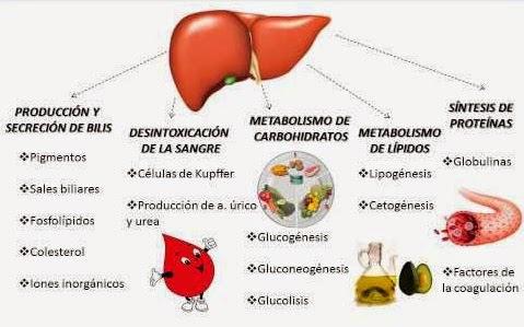 Qué función tiene el hígado - Solo Ciencia