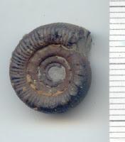 Catacoeloceras prorsiradiatum 1