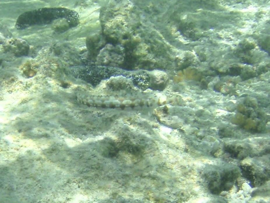 Parapercis hexophthalma (Speckled Sandperch), Aitutaki.