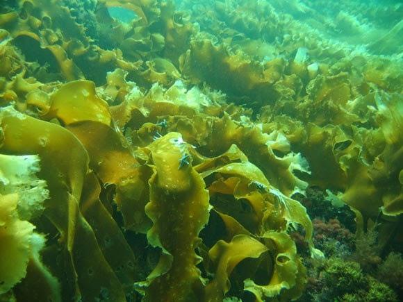 Польза морской капусты