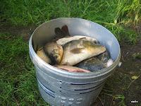 Відро з рибою з бочаниці