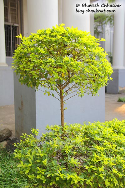 A bush in the garden of St. Mary's Church, Pune