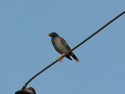 15-Oct-2011 Jungle Mynah Pic: SK Srinivas