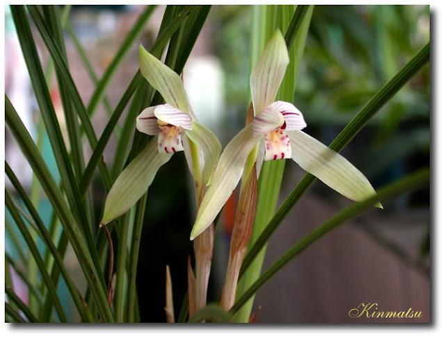 Растения из Тюмени. Краткий обзор - Страница 3 Cym_formosanum-4