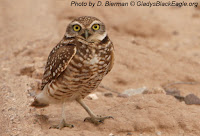 Iowa is on the eastern edge of the burrowing owl range.  These owls may nest in the Loess Hills.