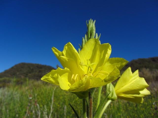 tall yellow bush flowers, but not bush poppies