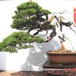 18 Juniperus chinensis.JPG