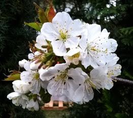 Kwiaty czereśni Prunus avium