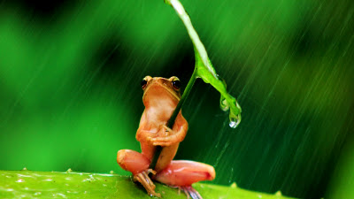 Frog takes shelter from rain shower