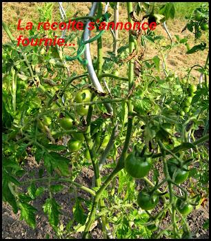 Une coulée verte 13.07.16-tomates