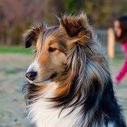 Сон про собаку