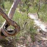 Twisted tree south of Scopas Peak (19320)