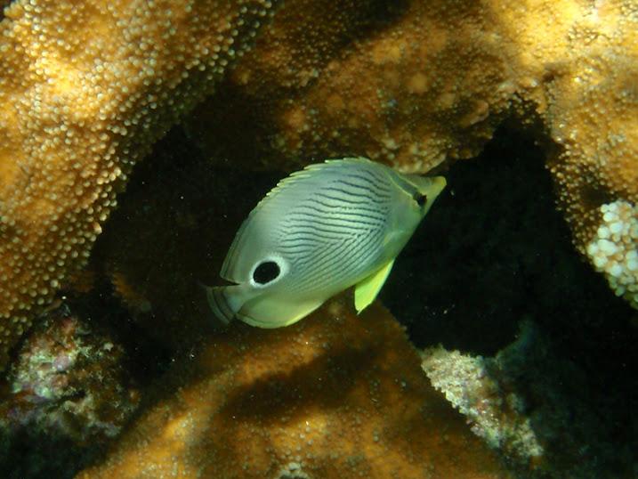 Chaetodon capistratus (Foureye Butterflyfish) near Tranquility Bay Resort.