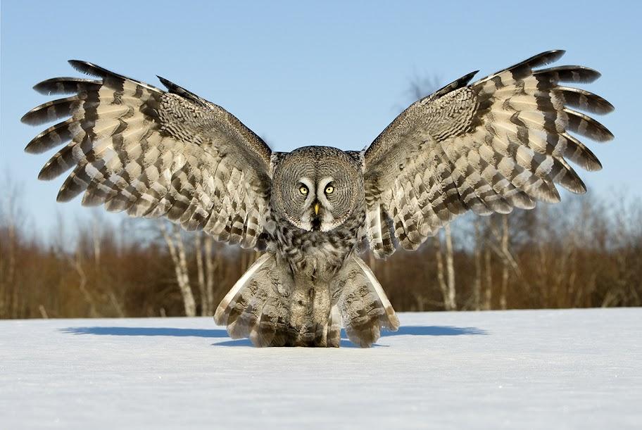 Jari Peltomäki Photography of Great Grey Owl