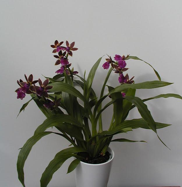 Растения из Тюмени. Краткий обзор - Страница 7 Ho0015