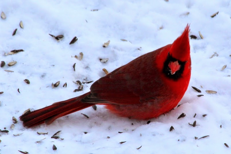 Male Cardinal at our feeder