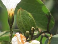 https://lh5.googleusercontent.com/-JUMjy-hMksc/T2_yu7FKxbI/AAAAAAAAADA/fdrkJKOlNZI/s1600/Texas+Olive+Tree+-+Fruit.jpg