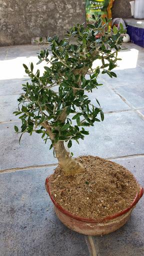 Olivo en problemas, seca hojas. 20130711_113506