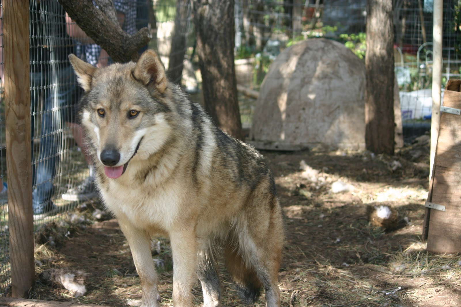 Red Wolf Husky Hybrid