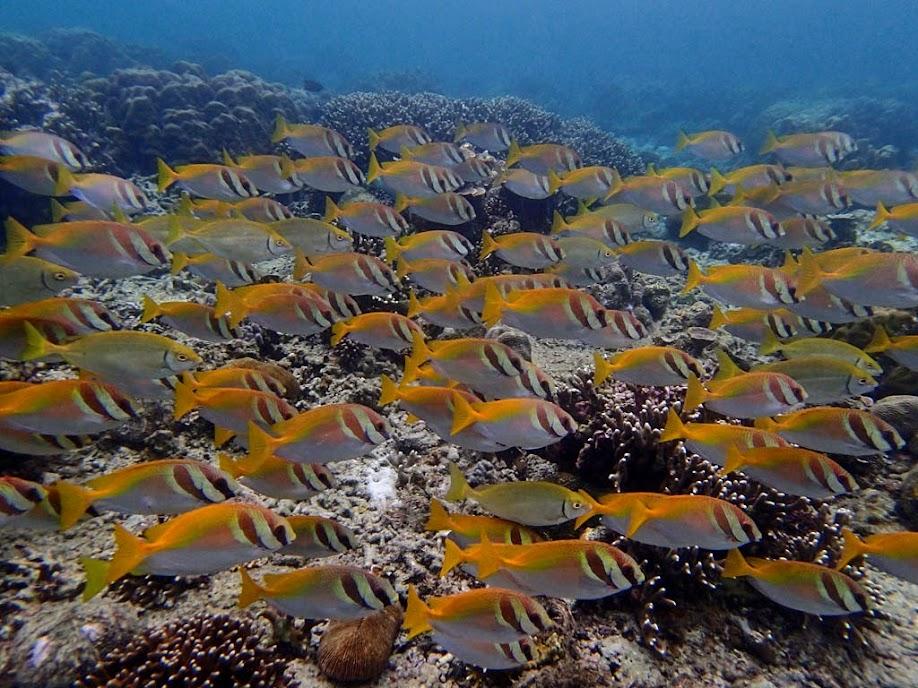 Siganus virgatus (Virgate Rabbifish), Miniloc Island Resort reef, Palawan, Philippines.