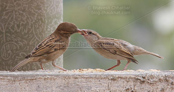 Sparrow feeding young one