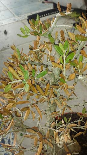 Olivo en problemas, seca hojas. 2014-01-12%252010.43.33
