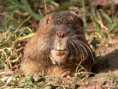 gophers gob top 5 - photo #25