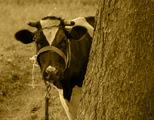 scene,photo,cow,