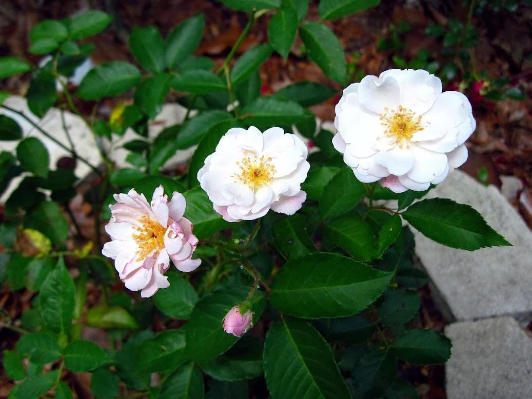 Rose Rampicanti Senza Spine rose bianche (a fiore bianco) senza spine, o quasi