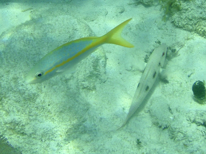 Ocyurus chrysurus (Yellowtail snapper) following a Pseudupeneus maculatus (Spotted Goatfish) near Tranquility Bay Resort.