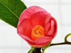 桃紅色 一重 猪口咲き 侘芯 極小輪