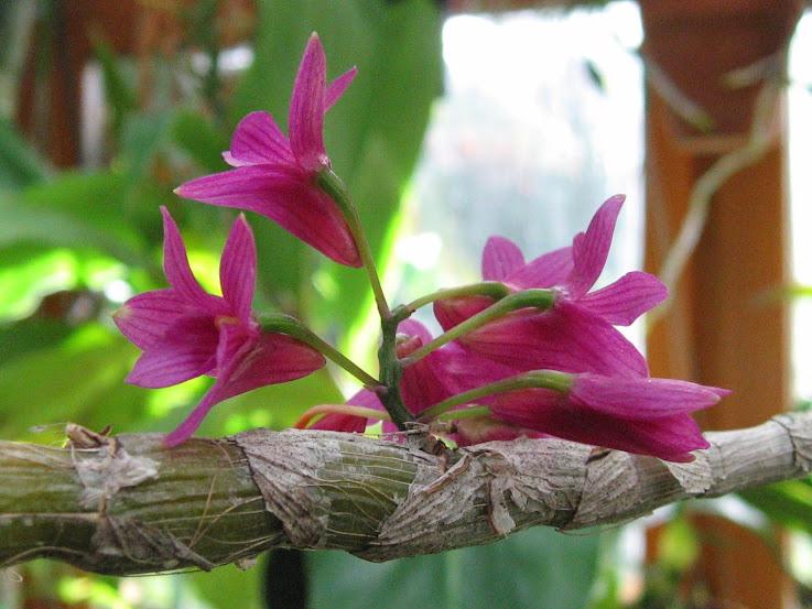 Dendrobium miyakei (vendu pour Dendrobium Usitae Red Coral) Dendrobium%2BUsitae%2B1%2Bmoi