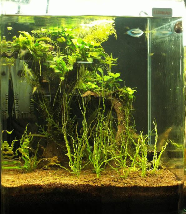 Aquariums plantés Aquarium+30+litres+20+03+2013