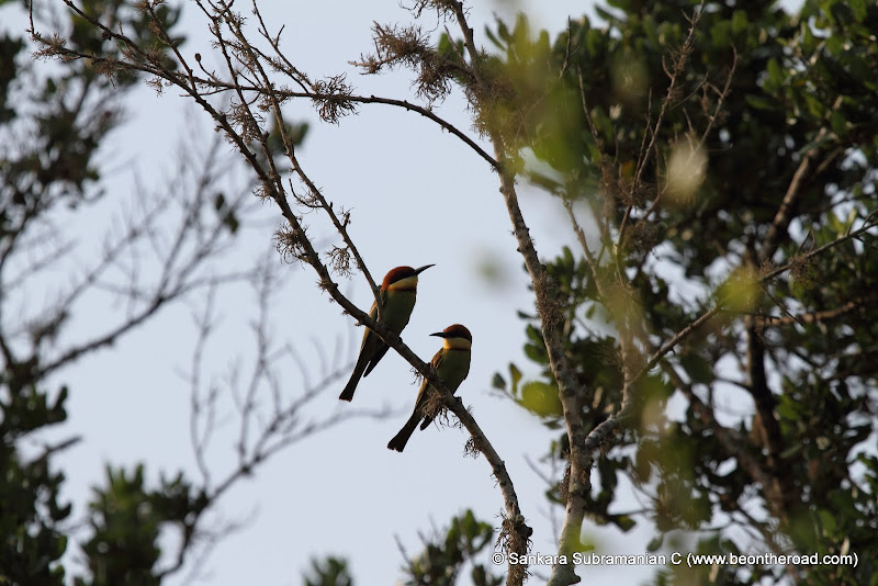 Chestnut Headed Bee Eaters at Yala National Park - 4