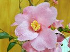 桃色 一重 ラッパ咲き 筒しべ 弁化した雄しべも混じる 極小輪