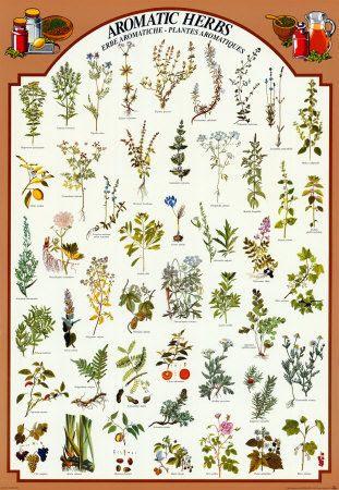 2450-1162%2525257EAromatic-Herbs-Posters.jpg?gl=DK