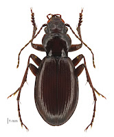 Loxomerus nebrioides. Photo: BE Rhode. Citation: Larochelle A, Larivière M-C 2013. Carabidae (Insecta: Coleoptera): synopsis of species, Cicindelinae to Trechinae (in part). Fauna of New Zealand 69: 193 pp.