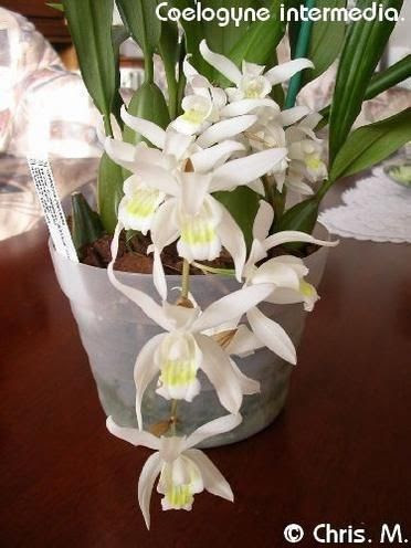 4_Coelogyne_intermedia___Unchained_Melod