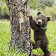 сон про медведя