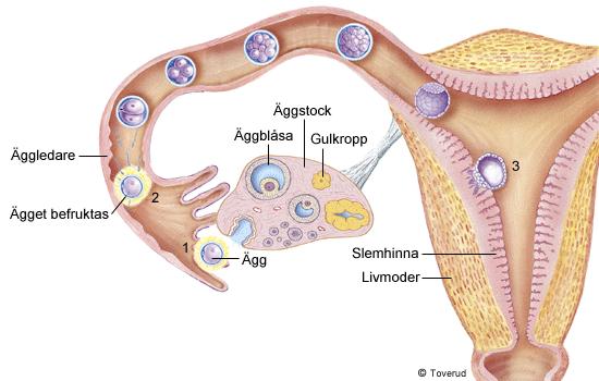 slemhinnan i livmodern